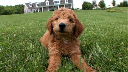 Miracle Ranch Labradoodles - Dog and Puppy Pictures