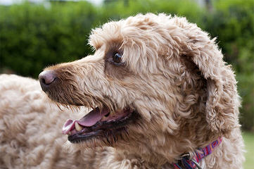 Avonlee Labradoodles - Dog and Puppy Pictures