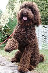 Nutmeg Labradoodles - Dog Breeders