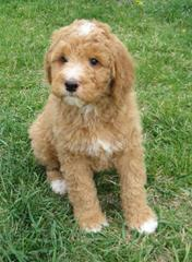 Labradoodle Puppies - Dog and Puppy Pictures