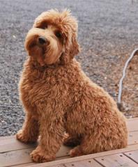 Labradoodle Puppies - Dog Breeders