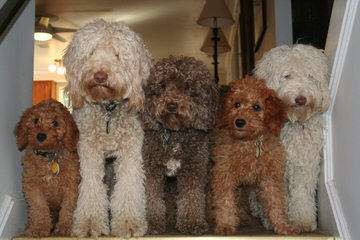 Labradoodles of Logan Ranch - Dog Breeders