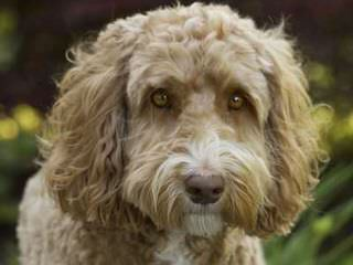 Log Cabin Labradoodles Australian, Mini, Multigens - Dog Breeders