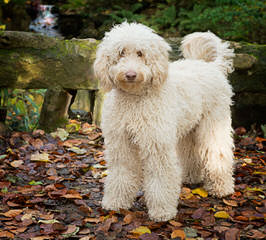 French Quarter Labradoodles - Dog Breeders