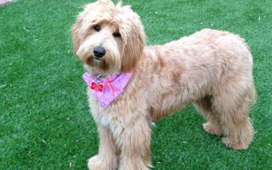 Central Florida Labradoodles - Dog Breeders