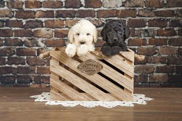 Sweetie Pie Labradoodles - Dog Breeders