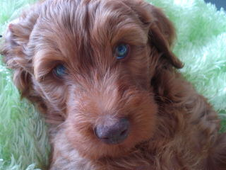 Morning Smile Labradoodles – Quality Australian Multigen Puppies - Dog Breeders