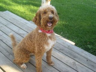 F1b Labradoodles&Goldendoodles,Call For Next Available Puppies - Dog Breeders