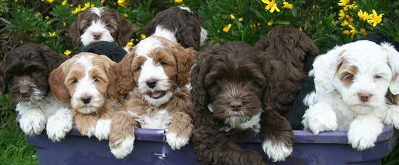 Springville Labradoodles - Dog Breeders
