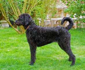 Memory Lake Labradoodle - Dog Breeders