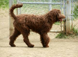 Grandview Labradoodles - Dog Breeders