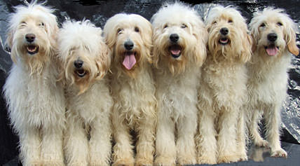 Red Rock Labradoodles-Medium Cream/Apricot/Red F1b Labradoodle Puppies - Dog Breeders