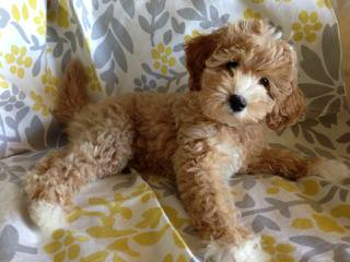 Willow Oak Labradoodles - Dog and Puppy Pictures