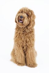 Aspen Ridge Labradoodles - Dog and Puppy Pictures