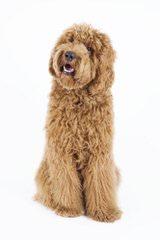 Grandview Labradoodles - Dog Breeders