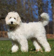 Trina's Doodles And Poodles - Dog Breeders