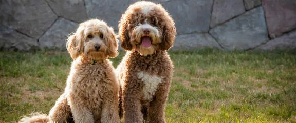 Southerncadoodles – We Are In California And Have Mini Red Pups Now! - Dog Breeders