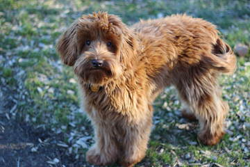 Willow Oak Labradoodles - Dog Breeders