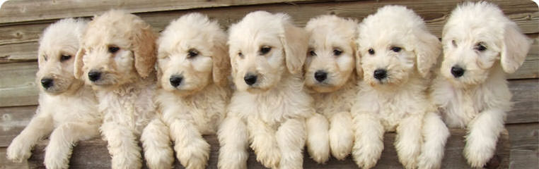 Black Canyon Labradoodles - Dog Breeders