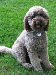 Tails of the West Labradoodles - Dog Breeders