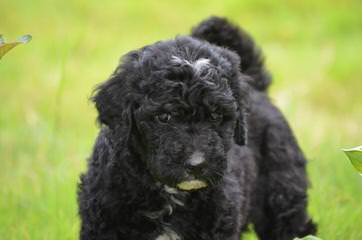 St. Clair Labradoodle Kennels - Dog Breeders