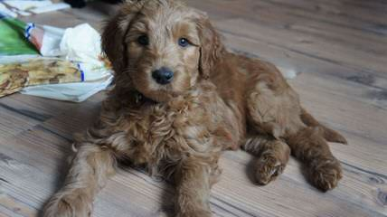 Aspen Ridge Labradoodles - Dog Breeders