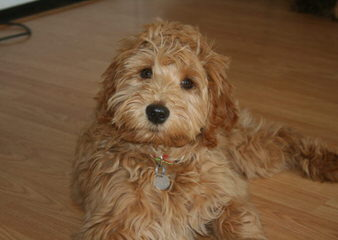 Labradoodles of Logan Ranch - Dog Breeders