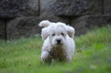 Colorado Mountain Labradoodles - Dog Breeders