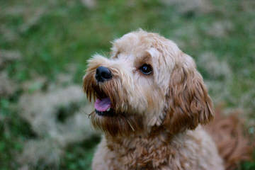 Grandview Labradoodles - Dog and Puppy Pictures