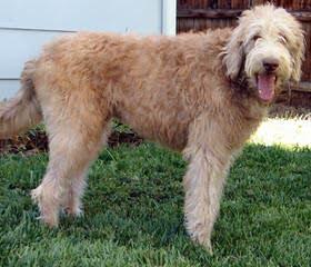 Four Paws Doodles – Medium Australian Multigen Labradoodles & Goldendoodles - Dog Breeders