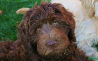 CO Mountain Labradoodles - Dog Breeders