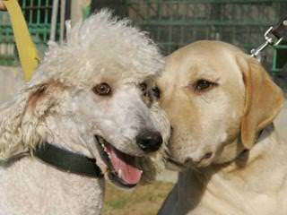 Miracle Ranch Labradoodles - Dog Breeders