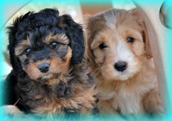 F1b Mini Labradoodles - Dog Breeders