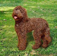 Landmark Labradoodles - Dog Breeders