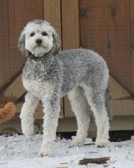 Highland Beach Labradoodles - Dog Breeders
