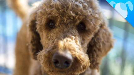 Sister Creek Labradoodles In Beautiful Sisterdale Texas! - Dog Breeders