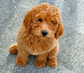 Labradoodles By Dj - Dog and Puppy Pictures