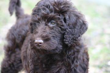 Rocky Mountain Labradoodles - Dog Breeders