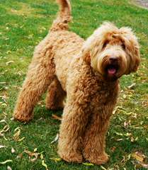F1b Labradoodles, Chocolate Or White With Brown Noses - Dog Breeders