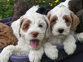 Snake River Doodles - Dog Breeders