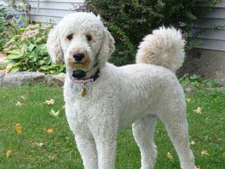 Rocky Mountain Labradoodles - Dog Breeders