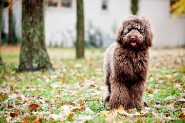Standard Poodle And Labradoodle Puppies For Sale. - Dog Breeders