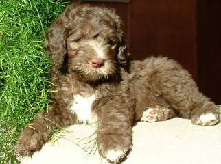 Dreamydoodles Northwest - Dog Breeders