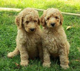 dazydoodles - Dog Breeders