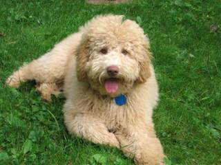 Black Canyon Labradoodles - Dog and Puppy Pictures