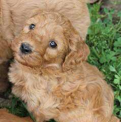 Weimardoods Weimardoodles! - Dog Breeders