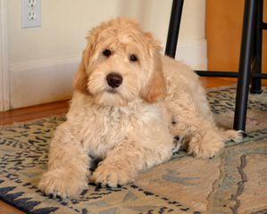Red Rock Labradoodles-Medium Cream/Apricot/Red F1b Labradoodle Puppies - Dog Breeders