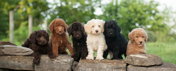 Doodle Downs – Red, Chocolate, Phantom, Cream/Apricot Fb Labradoodle Pups Available! - Dog Breeders