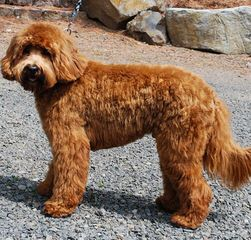 Mix a Poodle 'Heavenly Creations' - Dog Breeders