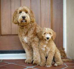 Multi Gen Labradoodles - Dog Breeders